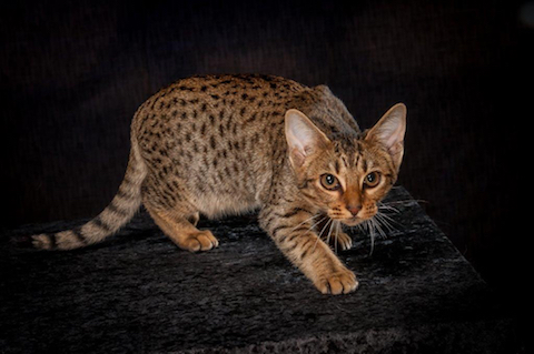 Sort spottet Ocicat - Killing